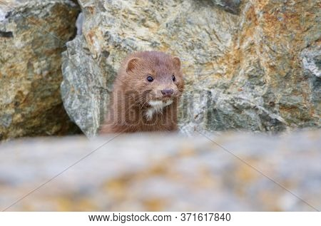 An American Mink Pops Its Head Up Over A Rock To Take A Look, Clover Point, Vancouver Island, Britis