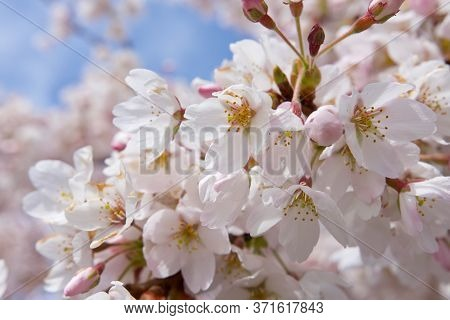 Close Up Of Clump Of Pale Pink Cherry Blossoms In Sun, With Blue Sky In Background, Victoria,  Briti