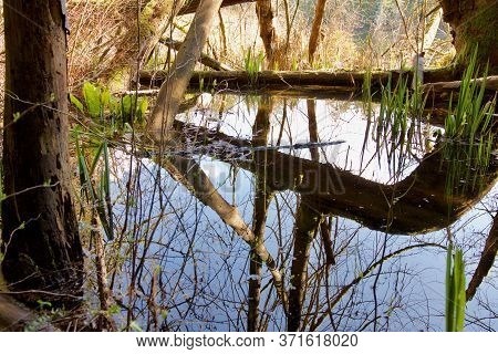 Crystal Clear Reflection Of Water Plants And Trees In Calm Pond, Vancouver Island, British Columbia