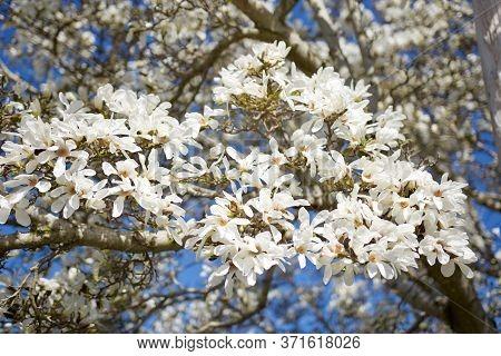 Beautiful White Blossoms Of Magnolia Tree In Spring Sun, Victoria, British Columbia