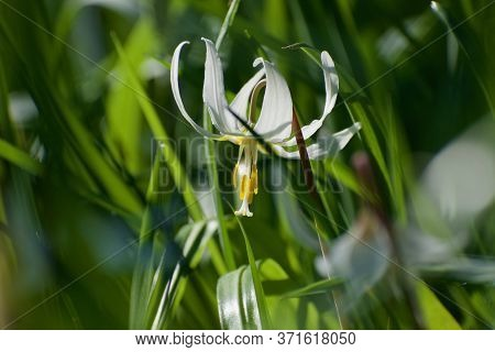 Single Delicate Flower Of White Faun Lilly Surrounded By Green Leaves In Morning Sun Of Spring Time,