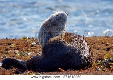 River Otter Enjoys A Good Scratch As She Grooms Herself On Seaweed Covered Shoreline Near Clover Poi