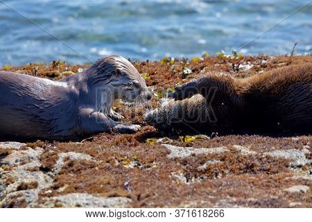Wet Juvenile River Otter Greets Its Mother On The Shore At Low Tide, Clover Point, Vancouver Island,