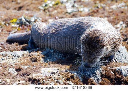 Juvenile River Otter Sniffs A Rock Along The Shore At Low Tide, Clover Point, Vancouver Island, Brit