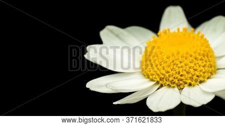 Chamomile Flower, Close Up, Super Macro, Isolated On Black Background, Empty Space For Text