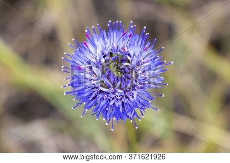 Mountain Flower Jasione Montana Of Spherical Form With Small Densely Located Petals Of Blue Color