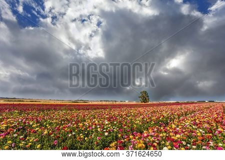 Kibbutz in the south of Israel. Easter week. Stormy clouds over a field of flowering garden buttercups. Concept of active and ecological tourism