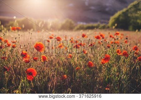 Red Poppy Flower Field At The Sun Set. Landscape Scenery. Warm And Cozy Country Side View.