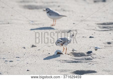 Piping Plover Is A Near Threatened Sand-colored, Sparrow-sized Coastal Shorebird. The Sand Shrimp Is