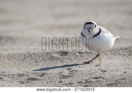 Piping Plover Is A Near Threatened Sand-colored, Sparrow-sized Coastal Shorebird.photographed At Hea