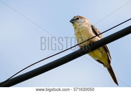 Portrait Of Indian Silverbill (euodice Malabarica) Perching On A Wire With Blue And Clear Sky In The