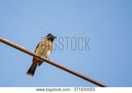 Portrait Of Red Vented Bulbul (pycnonotus Cafer) Perched On A Metal Rod With Clear And Blue Sky In T