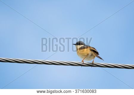 Portrait Of Ashy Prinia (prinia Socialis) Perching On A Powerline With Blue And Clear Sky In The Bac