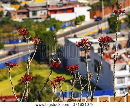Colorful Red Coral Tree Erythrina Overlook Cityscape Cholula Puebla Mexico