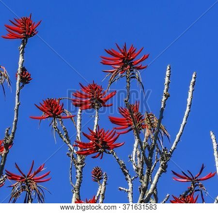 Colorful Red Coral Tree Erythrina Overlook Cholula Puebla Mexico