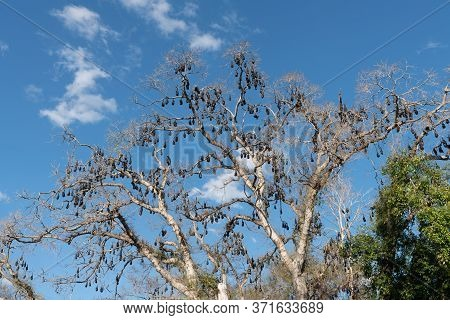 Colony Of Flying Fox (pteropus Alecto) Causing Damage To Trees In Lissner Park, Charters Towers, Aus