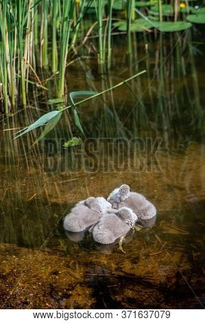 Three  Cygnets Sleeping On The Water In The Pond On Sunny Day.
