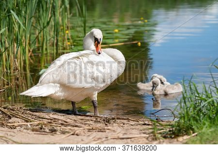White Swan And Three Cygnets In The Pond In Summer