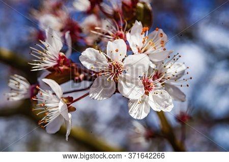 Pink Cherry Plum Blossom Flowering Fruit Tree Macro Bellevue Washington State