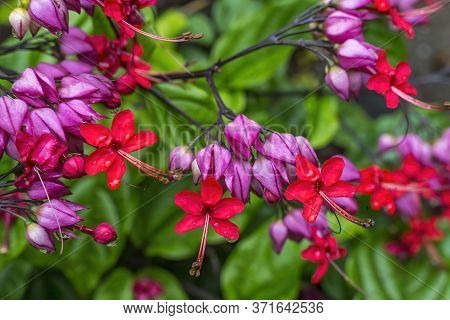 Pink Red Chinese Honeysickle Rangoon Creeper Vine Green Leaves Easter Island Chile