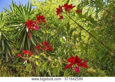 Wild Red Petals Poinsettia Blooming Macro Puebla Mexico. Native To Mexico, Christmas Decoration.