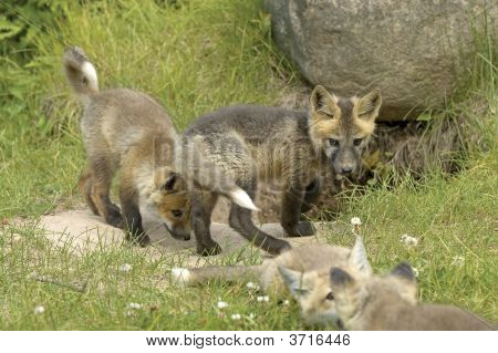 poster of Red fox pups playing at the entrance to den