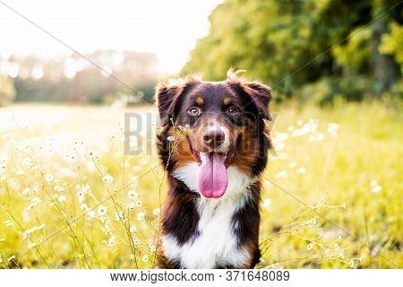 Australian Shepherd Dog. Aussie Dog In A Field At Sunset.