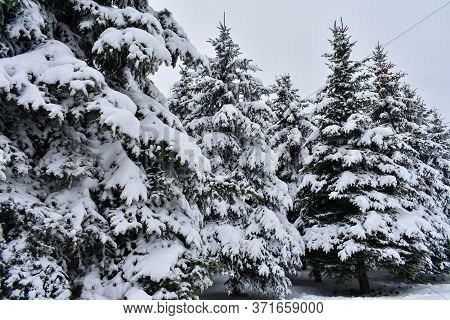 Fir Trees In The Snow. Three Christmas Trees In The Snow Against The Background Of A Residential Mul