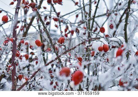 Background With Red Rose Hips Covered With Snow. Winter Background With Red Rose Hips Covered With S