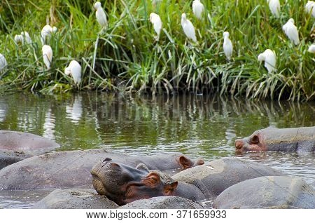 Large Hippo Herd In A Water Pond