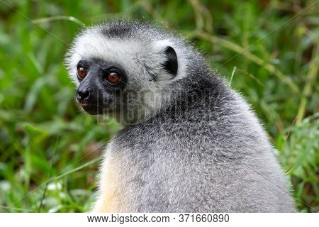 One Sifaka Lemur Sits In The Grass And Watches What Happens In The Area