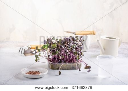 Microgreens - Radish Seedlings, Seed Germination At Home, Sprouted Radish Seeds .  Vegan, Vegetarian