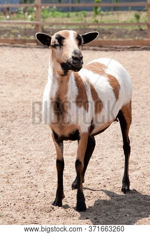 Cameroon Sheep Female, Young Animal In Summer