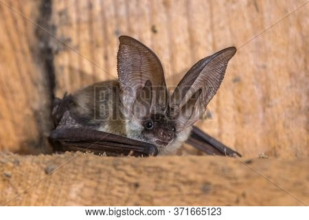 Grey Long-eared Bat (plecotus Austriacus) Is A Fairly Large European Bat. It Has Distinctive Ears, L