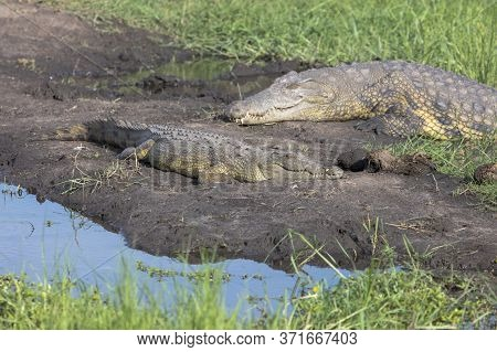 Two Crocodiles Bask In The Sun On The Edge Of The Chobe River In Botswana.