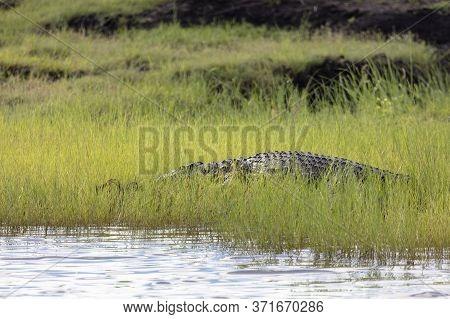 A Nile Crocodile Is Almost Hidden In Long Grass As It Basks In The Sun Next To The Chobe River In Bo