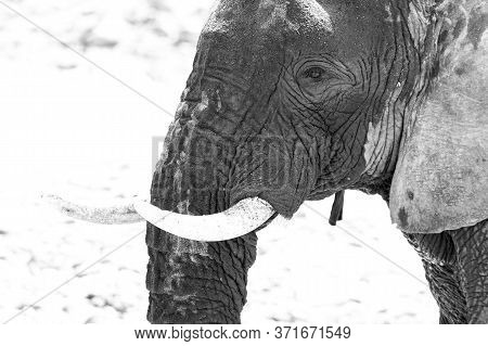 Black And White Close-up Of The Head Of An African Elephant. Strong Contrast.