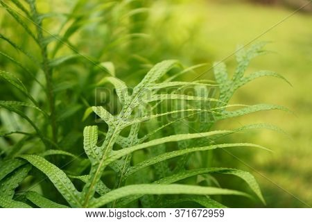 Commonly Called Monarch Fern, Musk Fern, Maile-scented Fern, Lauaʻe Or Wart Fern Is A Species Of Fer