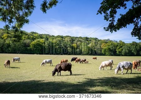 Cattle With Calves Grazing On Summer Pasture On Uk Livestock Farm