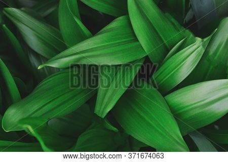 Green Fresh Natural Background Texture, Oblong Leaves Close Up