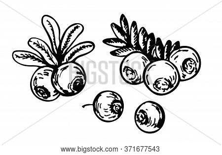 Cranberry Vector Drawing. Ripe Cranberry With Leaves And Branches Sketch. Berry Engraved Style Illus