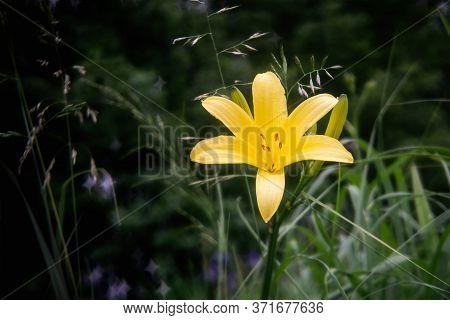 Daylily Blossom In Summer