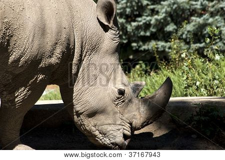 Rhinoceros head closeup