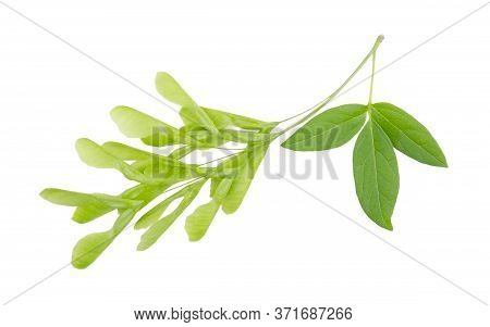 Green Ash-leaved Maple Isolated On A White Background Without Shadow. Item For Greeting Cards, Packa