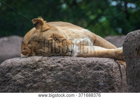 Close Up Of A Lioness Lying On The Ground In An Animal Park In Germany