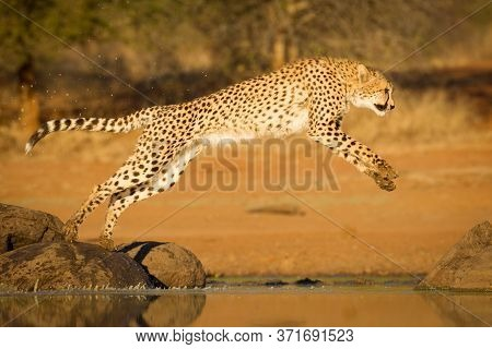 One Adult Cheetah Leaping Onto A Rock Over Water In Warm Golden Sunsetting Light In Kruger Park Sout