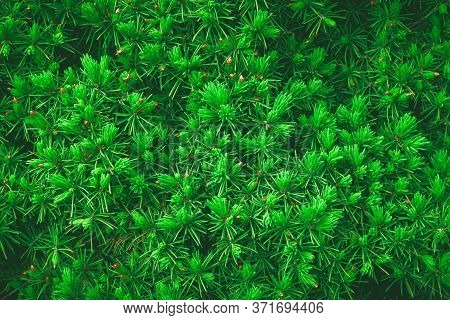 Fresh Young Green Branches Of Spruce. Natural Green Christmas New Year Textured Background.