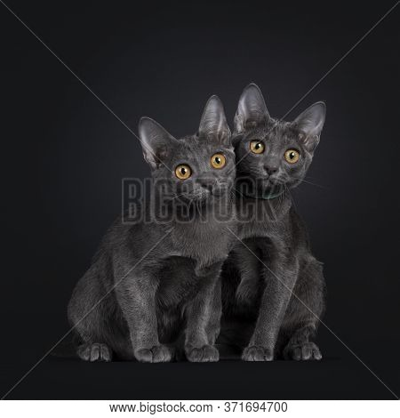 Duo Of Two Adorable Korat Cat Kittens, Sitting Beside Each Other. All Looking Curious To The Side Wi