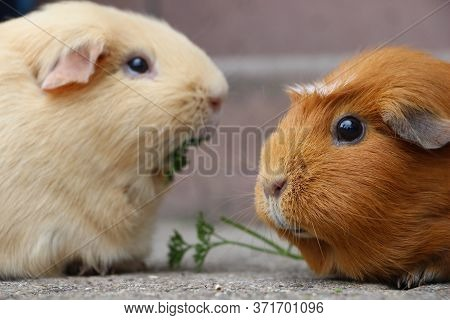 Cute Guinea Pigs Close-up Nibbling The Grass.