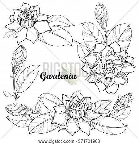 Vector Set Of Outline Gardenia Flower Bunch, Bud And Ornate Leaf In Black Isolated On White Backgrou